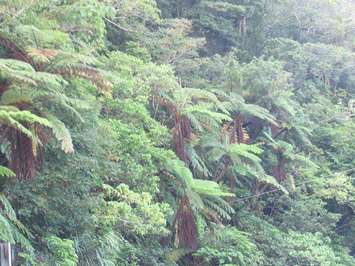 やんばるの森 シダの写真